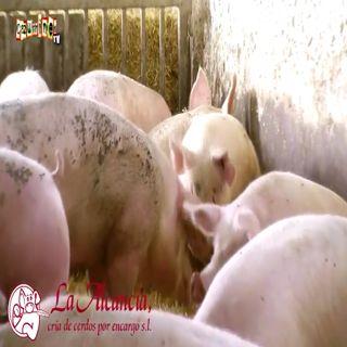 SPOT La Alcancía, cría de cerdos por encargo en Cazurrines TV
